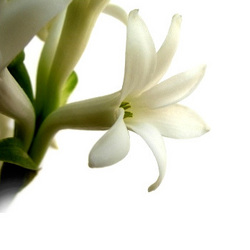 tuberose-absolute-